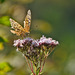 Butterfly, Oberhaslach, Alsace, France - 2017-08-28 1230929