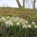 Erste Frühlingsboten ...