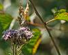 Butterfly, Oberhaslach, Alsace, France - 2017-08-28 1240028