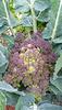 purple romanescu too
