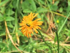 Crépide dorée = Crepis aurea, Astéracées, Sixt-Fer-à-Cheval (Haute-Savoie, France)