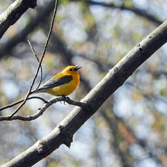 Day 4, Prothonotary Warbler, Point Pelee - ENDANGERED in Canada