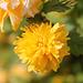 le printemps jaune