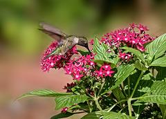 9030582 2 DxOdcL5 ·  Hummingbird