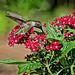 9030582 2 DxOdcL2 ·  Hummingbird