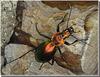 Carabus (Chrysocarabus) splendens (f).