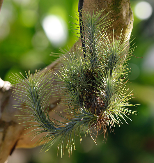 Tillandsia funckiana dans le 4 épices
