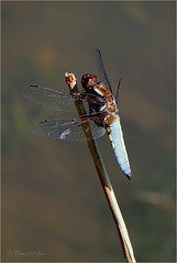Broad-bodied Chaser ~ Platbuik (Libellula depressa), male ♂