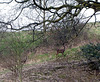 Deer in Raven's Clough wood.