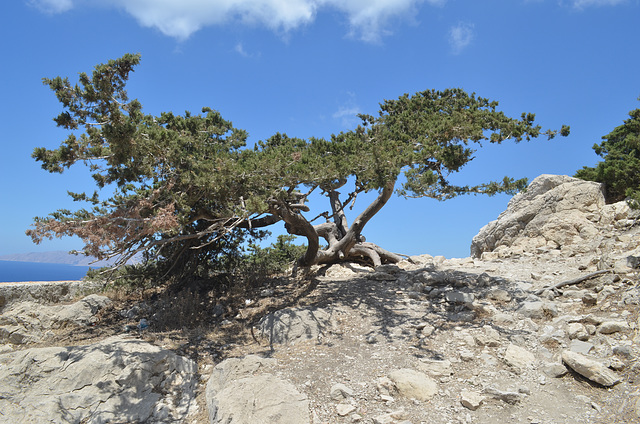 Rhodes, The Monolithos Castle, Tree Growing on the Wall