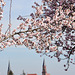 Mandelblüten mit den Kirchtürmen von Edenkoben