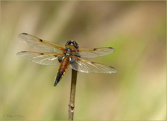 Four-spotted chaser ~ Viervlek Libel (Libellula quadrimaculata)...