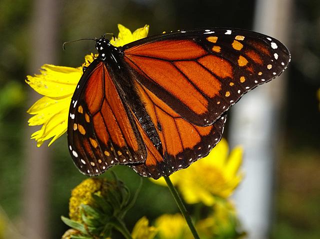 Monarch Saturday ! ~ Monarch butterfly (Danaus plexippus)10-10-2015