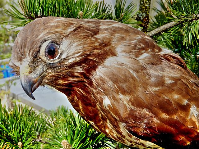 Mäusebussard. Common buzzard. Buse variable. Buteo buteo. ©UdoSm