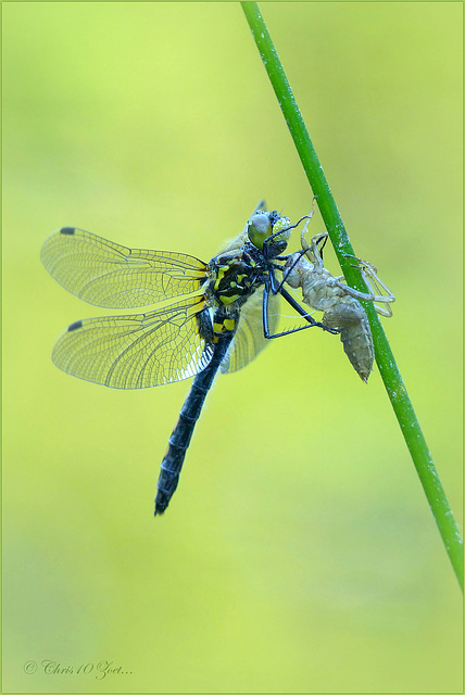 Small Whiteface ~ White-faced Darter ~ Venwitsnutlibel (Leucorrhinia dubia), female ♀, 3...