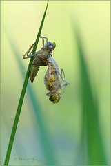 Here comes a new Dragonfly... Small Whiteface ~ White-faced Darter ~ Venwitsnutlibel (Leucorrhinia dubia), 1...