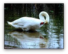 Hattyú  Swan