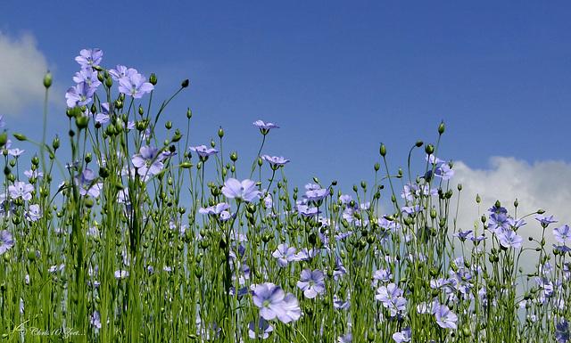 Flax against the blue Sky...