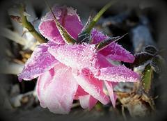 ...une rose pour Toutes les victimes  de la barbarie...Charlie vivra...