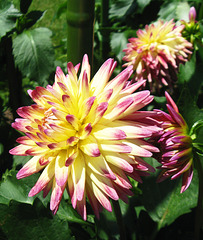"Dahlia ""Roscoe"" by My Lovely Wife"