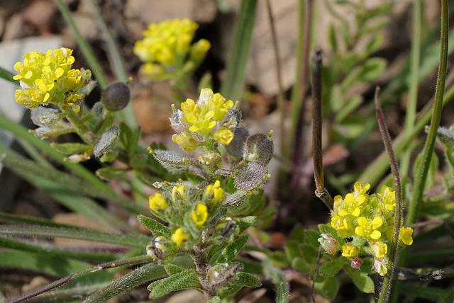 Alyssum alyssoides, Brassicales