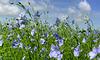 Close-up Flax...