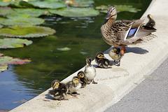 Entenfamilie (Wilhelma)