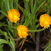 Arachis hypogaea, Fabaceae