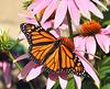 monarch butterfly DSC 0338