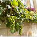 The grapes are almost ripe