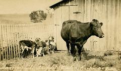 Triplet Calves, Rooks County, Kansas
