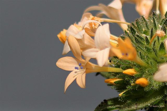 Collomia grandiflora (6)