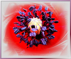 Samenkapsel einer Mohnblüte.  (Papaver rhoeas) ©UdoSm