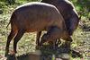 Hirscheber mit Ferkel (Grüner Zoo Wuppertal)