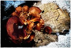 Un champignon d'hiver1