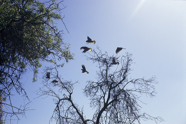 Yellow-tailed Black Cockatoos, Normanville - Banksia scrub