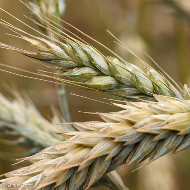 reifendes Getreide