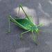 Gafanhoto, Grasshopper
