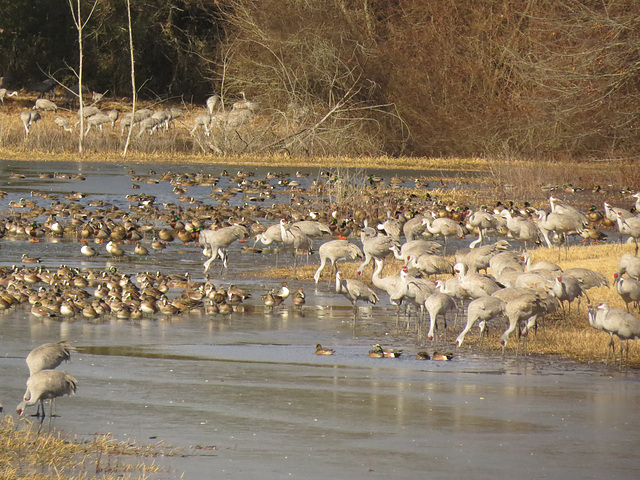 Sandhill cranes and assorted ducks
