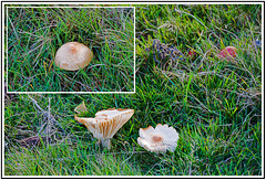Is it a Waxcap of some type, please?