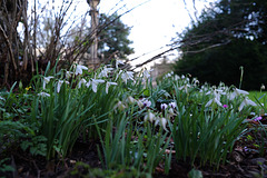 Snowdrops at Lacock Abbey