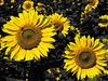 Sommer = Sonnenblumen