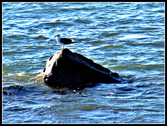Gull on Rock.