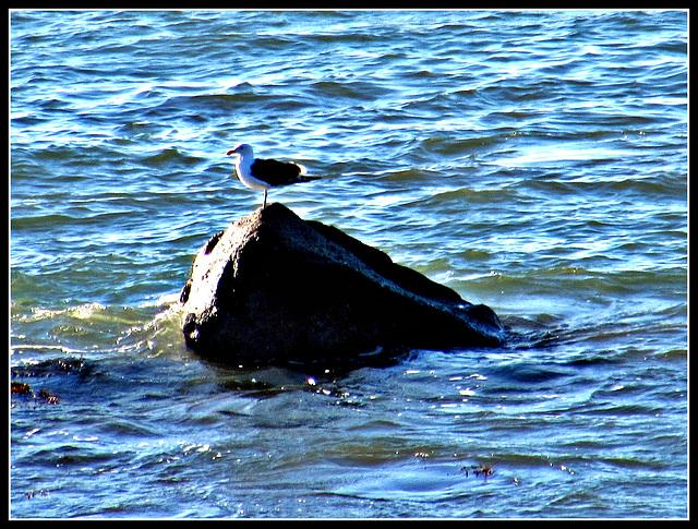 Gull on Rock.