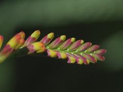 Crocosmia Lucifer flowers as infants