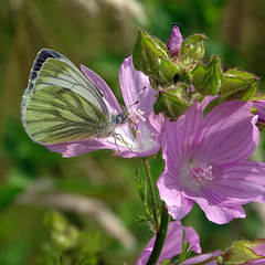 Green-veined White on Mallow