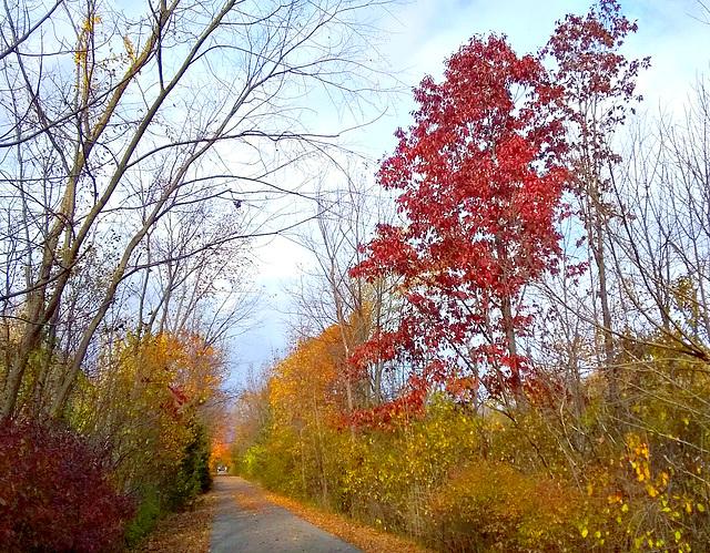 Red oak on trail