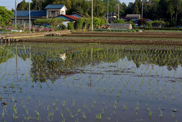 Rice field has been flooded