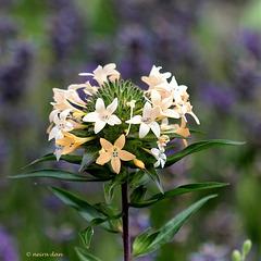 Collomia grandiflora (3)