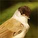 Portrait Mönchsgrasmücke